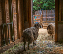 Why hello Ms Woolsey!  would you like a cup of tea? (MustangRosie) Tags: sheep ram wool farm barn door dirty oakland