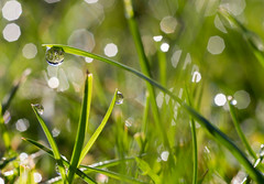 Morning Dew (habzamaphone) Tags: dew dewdrops morningdew waterdroplets waterdroplet grass
