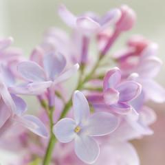 Lilac (paulapics2) Tags: lilac shrub bush spring printemps frühling season april macro canoneos5dmarkiii sigma1005mm pastel pretty outdoor garden nature