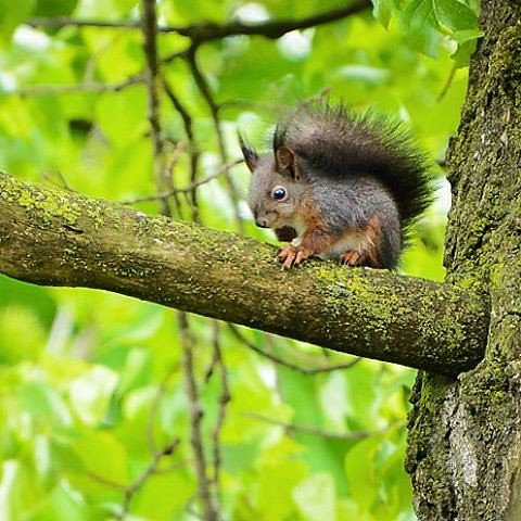 #squirrel #alterrhein #diepoldsau #diepoldsauschmitter #nature #forest #rheintal #switzerland #animals #animalplanet #spring #outdoor #wildlife #wildlifephotography #eichhörnchen #fmh