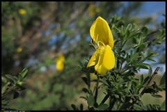 IMG_2344-06-04-2017 - fiore della ginestra (r.zap) Tags: ginestra rzap parcodelticino