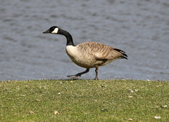 Watch Where You Step (Diane Marshman) Tags: canada goose canadian geese water fowl large long black neck head gray brown white body webbed feet stepping winter northeast pa pennsylvania nature wildlife grass lake