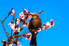 Brown-eared Bulbul on Plum Blossom : 梅にヒヨドリ (Dakiny) Tags: 2017 spring march japan kanagawa yokohama aoba ichigao outdoor nature field plant tree flower plum blossom plumblossom apricot japaneseapricot creature animal bird bulbu brownearedbulbul bokeh nikon d7000 tamron 70300mm sp70300mmf456divcusd a005 modela005 nikonclubit