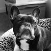 04-02-17 (2716) Head Shot (Lainey1) Tags: 040217 2716 2716oz 365 theeighthyear oz ozzy dog frenchie bulldog lainey1 elainedudzinski frogdog zendog frenchbulldog ozzythefrenchie leica leicadlux4 bw monochrome