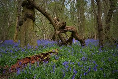 The wild woods (braddalad123) Tags: elseawoods bourne lincolnshire forest tree trees wood woodland branch bark blue bluebell bluebells spring outdoor nature nikon d3200 log moss twisted