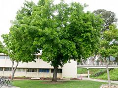 Burr Oak (DemoDataServices) Tags: sanluisobispo california unitedstates