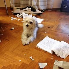 """Dispetti... di un cagnolino lasciato per troppi minuti da solo 😂😂😂🎥🐾🐾❤️🎬 Icey e la sceneggiatura di """"7 minuti"""" del Maestro Michele Placido (ilirjacellari) Tags: kaos puppy littledog 7minutifilm micheleplacido script"""