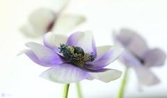 Always together (Trayc99) Tags: flowers floralart flowerphotography anemone whitebackground macro closeup beautyinnature beautyinmacro