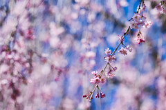 """DSC_7399 - Cherry Blossoms (Athtart) Tags: cherryblossoms aurora2017 april 52in2017 week14 """"theme in full bloom morris arboretum cherry blossoms flowers spring blooms macro shallow depth field yoshino tree"""