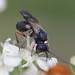 parasitic wasp - Chelonus sp. (Braconidae) -