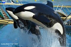 Amazing Animal ! ♥ (GALINETTE1208) Tags: marineland antibes orca killer whales inouk moana wikie keijo valentin 2017 2016 d5200 orques spectacle bow black white dolphin dauphins noir blanc cetacean nikon cote dazur france cétacé parc big impressive