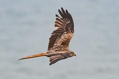 Red kite (Shane Jones) Tags: redkite kite raptor bird birdofprey birdinflight nature wildlife nikon d500 200400vr tc14eii