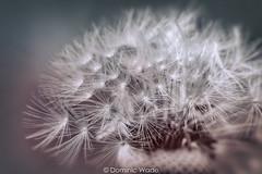 Dandelion Clock (dommylive) Tags: adobephotoshop april countydurham dandelion dandelionclock garden googlenikcollection macro macrolensfilter northeastengland peterlee plants seasons seeds spring topazlabs