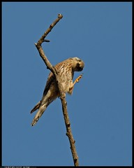 DSC_6215-02-08-01-2_f - gheppio (r.zap) Tags: falcotinnunculus gheppio rzap parcodelticino