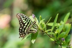 JM foto75-147 (janetankersmit) Tags: 2017 vlinders vlindertuin zutphen