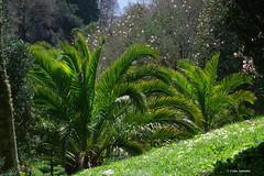 IMG30198a_C (Kernowfile) Tags: glendurgangarden plants trees flowers