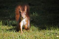 Herrenbesuch - von Curly (bauingenieuse) Tags: squirrel eichhörnchen moos moss garten garden besuch visit red rot süs wiese frühling 2017 bauingenieuse bunt cute curly junge boy canon 60d 200mm