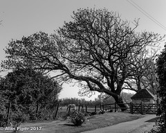 Prevailing wind (PapaPiper) Tags: westwittering sussex wind prevailing winddirection bw mono monochrome tree england coast sea climate