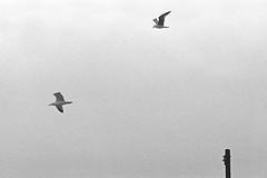 Upwind flight (Federico Pitto) Tags: bw nikkor135mm28 nikonfe2 trix d76 genova