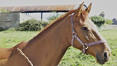 Looking Pretty (Nigel Musgrove-2 million views-thank you!) Tags: latton wiltshire cotswolds spring horse chestnut mare
