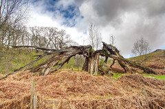 Triumph over adversity (Rob McC) Tags: tree wood growth abstract landscape lochtool galloway
