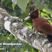 Chestnut Woodpecker, Celeus elegans