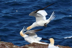 Cowaboonga (blootoonloon1( No to Badger Cull)) Tags: gannets nature wildlife animals birds coast aberdeenshire scotland trouphead rspb