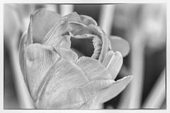 Tulip (susacu) Tags: high key tulip flower black white soft
