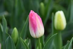 Tulip (careth@2012) Tags: tulip flower spring dewdrops petals nature