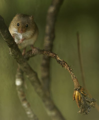 Harvest Mouse [3rd Explore 23-04-2017 #135] (Fong Lim Photography) Tags: harvest mouse