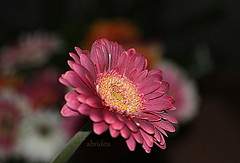 Gerbera (abrideu) Tags: abrideu canoneos100d gerbera flower flowers depthoffield bokeh macro plant indoor pink ngc npc