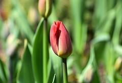 Tulip (careth@2012) Tags: nature flower petals spring tulip