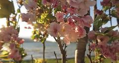 Comment ne pas t'aimer ? (nathaliedunaigre) Tags: fleurs flowers amour love sentiment joie joy rose pink sunsetlight lumière light