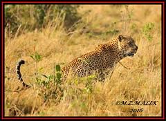 LEOPARD (Panthera pardus) ...MASAI MARA.....SEPT 2016 (M Z Malik) Tags: nikon d3x 200400mm14afs kenya africa safari wildlife masaimara keekoroklodge exoticafricanwildlife exoticafricancats flickrbigcats leopard ngc