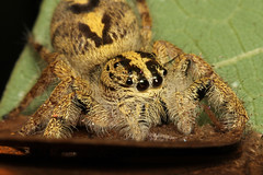 Hyllus diardi ♀ (Jumping Spider) - Singapore (Nick Dean1) Tags: salticidae jumpingspider spider animalia arachnid arthropoda arthropod singapore pasirrispark hyllus diardi hyllusdiardi