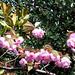 #1944 Oshima cherry (ヤエザクラ)