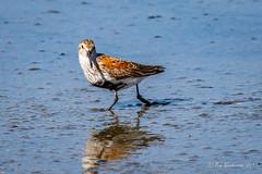 Dunlin (Bob Gunderson) Tags: birds calidrisalpina california coyotepointregionalpark dunlin northerncalifornia peninsula sanmateocounty sandpipers shorebirds