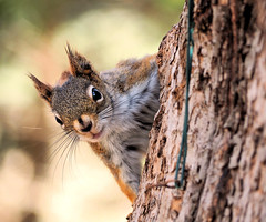 P4270035 (s_hallman55) Tags: squirrel face furry cute critter animal wild nature wildlife