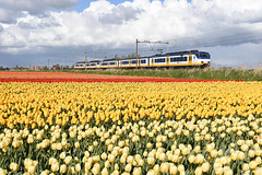 NSR 2994 at Hillegom, April 27, 2017 (cklx) Tags: spring holland 2017 tulips tulpen colorful kleurrijk sprinter sprinters yellow geel