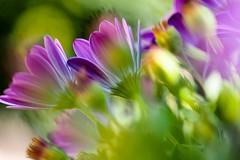 Lums, ombres, vent  i caos (jocsdellum) Tags: llum luz light chaos caos flors flowers primavera spring floreverde verd green jardín garden vent wind viento