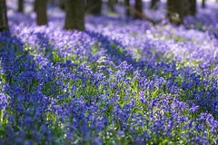 Early Morning Ashridge Bluebells (paulinuk99999 (really busy at present)) Tags: paulinuk99999 hockey wood ash ridge england spring 2017 national trust nt bluebells flower sal135f18za zeiss