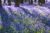 Early Morning Ashridge Bluebells (paulinuk99999 (lback to photography at last!)) Tags: paulinuk99999 hockey wood ash ridge england spring 2017 national trust nt bluebells flower sal135f18za zeiss