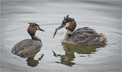 Grebes with fish and chicks! (cconnor124) Tags: grebeswithchicks grebes grebeswithfish waterbirds ukbirds largebirds birdphotography naturephotography uknature nature canon100400lens canon7dmk11 canon14xconvertor111
