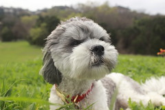 Spring (LexiCMarie) Tags: dog dogs pet pets puppies puppy shih tzu mix mutt cute adorable spring