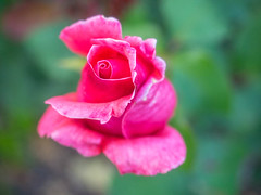 Pink Rose (melastmohican) Tags: shrub spring natural color nature day beauty red summer macro flora gardening outdoors petal season flower plant outdoor blooming rose love sunny garden blossom floral colorful bush beautiful green pink nobody botanical closeup park bloom rosebush fresh field