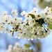 Wild cherry (~ **Barbara ** ~) Tags: wild blossom cherry white uk bluesky roadside landscape spring 7d11 canon macrolens