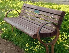 Take a Seat Among the Flowers (melystu) Tags: bench hbm yellow oxalis wildflower common park berkeley marina ca bay eastbay woodsorel waterfront rust seaair