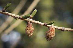 mélèze en éveil (bulbocode909) Tags: fleurs arbres branches mélèzes printemps nature montagnes vert éveilrouge valais suisse montchemin