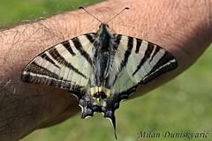 prugasto jedarce, Žumberak (mdunisk) Tags: mdunisk leptir leptiri ruka insekt šarenac šarenci parkprirodezumberackosamoborskogorje poklek kukac kukci stojdraga kravljak selce budinjak