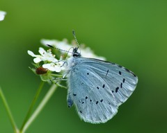 Holly Blue (Celastrina argiolus) (marmendy mill) Tags: macro closeup butterfly bug insect whiteflower photo nikon butterflies lepidoptera mariposa essex rochford lycaenidae hollyblue celastrinaargiolus doggettslake